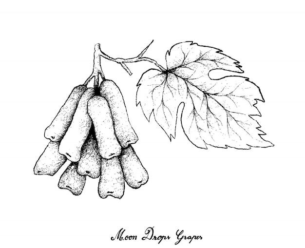 Ręka rysunek księżyc opuszcza winogrona na białym tle