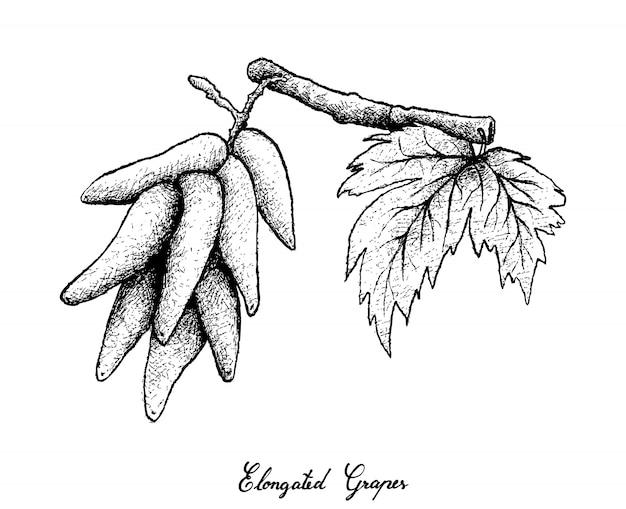 Ręka rysunek wydłużonych winogron na białym tle