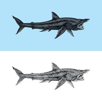 Rekin olbrzymi i rekin piaskowy morskie drapieżne zwierzęta morskie życie ręcznie rysowane vintage grawerowane szkic