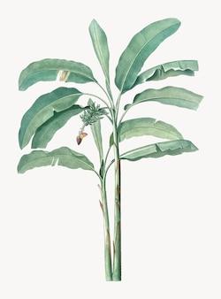 Rocznik ilustracja bananowy drzewo
