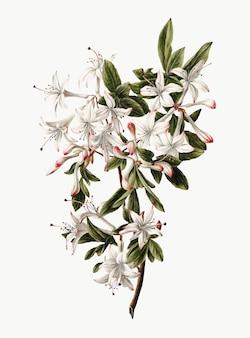 Rocznik ilustracja gałąź azalie w kwiacie