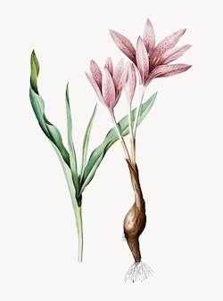 Rocznik ilustracja jesień krokus