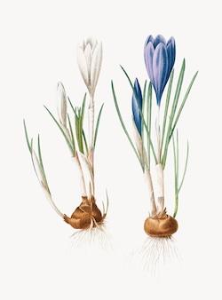 Rocznik ilustracja wiosna krokus