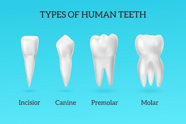 Rodzaje realistycznych zestawów ludzkich zębów z siekaczem przedtrzonowym i trzonowym na niebiesko