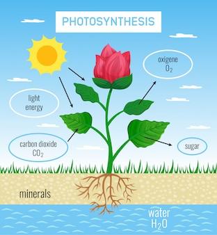 Rola fotosyntezy biologicznej w rozwoju roślin płaski plakat edukacyjny przedstawiający konwersję energii słonecznej na chemiczną