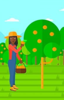 Rolnik zbierający pomarańcze.