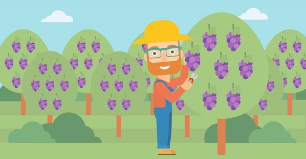 Rolnik zbierający winogrona