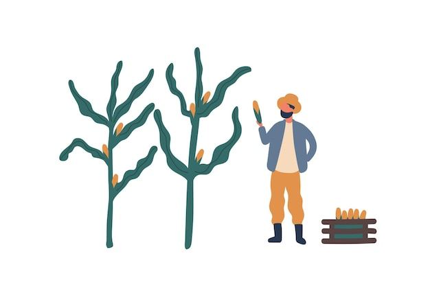 Rolnik zbierania ilustracji wektorowych płaski kukurydzy. robotnik rolny, postać z kreskówki ranczera. sezonowe zbiory upraw, element projektu uprawy naturalnej żywności. gospodarka wiejska, prace rolnicze, koncepcja rolnictwa.