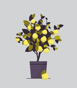Roślina doniczkowa z cytryną rosnąca drzewo owocowe w doniczce