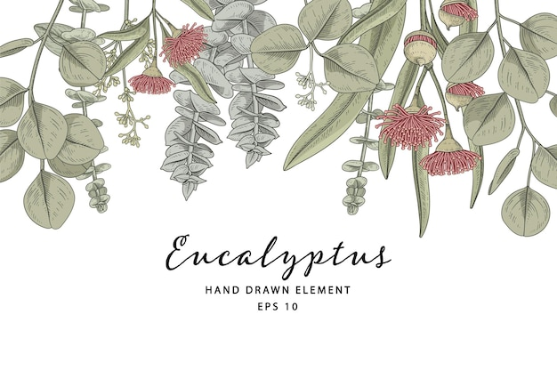 Roślina eukaliptusa botaniczna ręcznie rysowane ilustracja