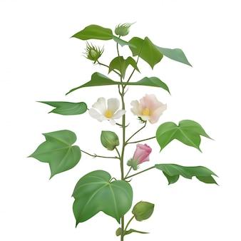 Roślina kwitnienia bawełny na jasnym tle. białe, różowe bawełniane kwiaty, pąki i uformowane bawełniane pudełka.