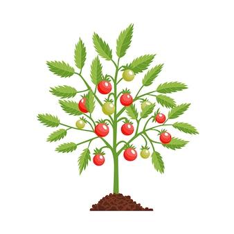 Roślina w fazie wzrostu pomidora. pomidor czerwony. etap owocowania.