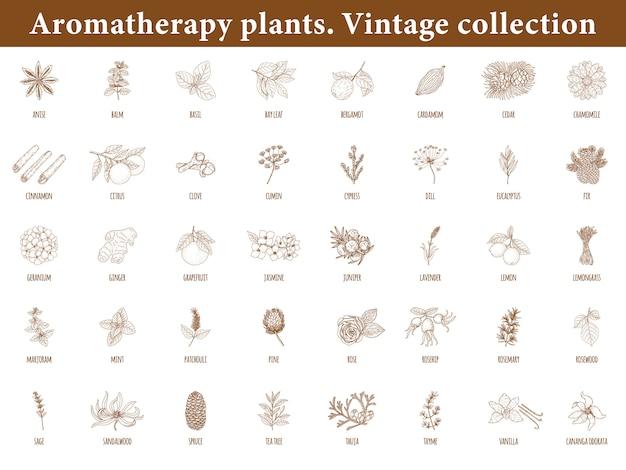 Rośliny aromaterapeutyczne. zestaw elementów botanicznych na białym tle. zabytkowy styl.