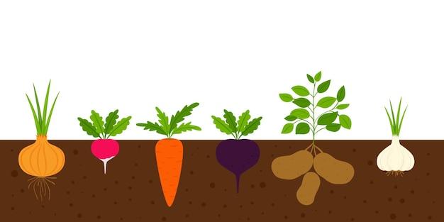 Rośliny okopowe w ziemi. warzywa w glebie w sekcji. płaski styl kreskówki, na białym tle na białym tle