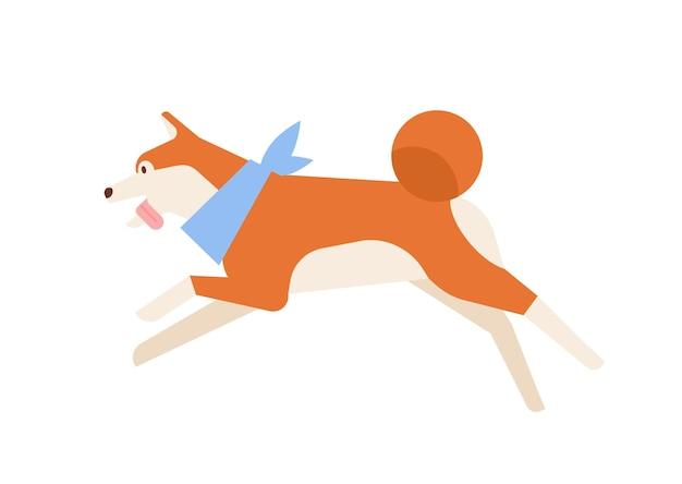 Rozbrykany akita inu biegający lub skaczący. aktywny zabawny rasowy japoński pies sobie szalik na szyi na białym tle. codzienna aktywność zwierzęcia domowego lub domowego. ilustracja wektorowa kreskówka płaski.