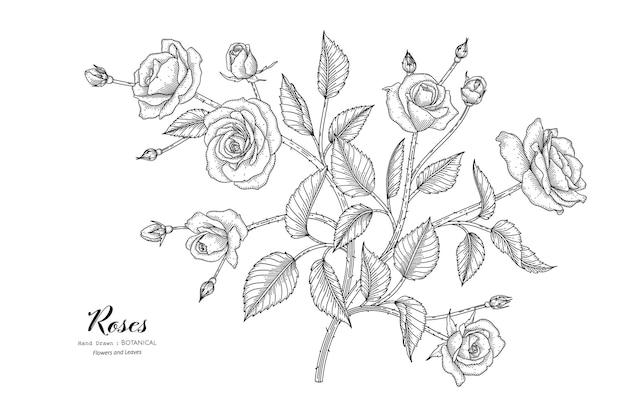 Róże kwiat i liść ręcznie rysowane ilustracja botaniczna z grafiką.
