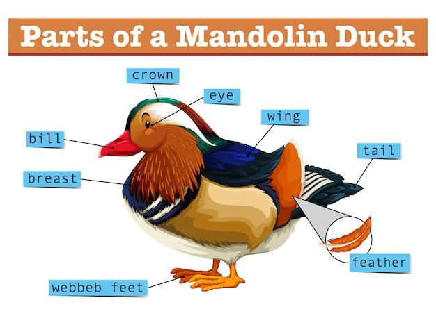 Różne części kaczki mandolinowej