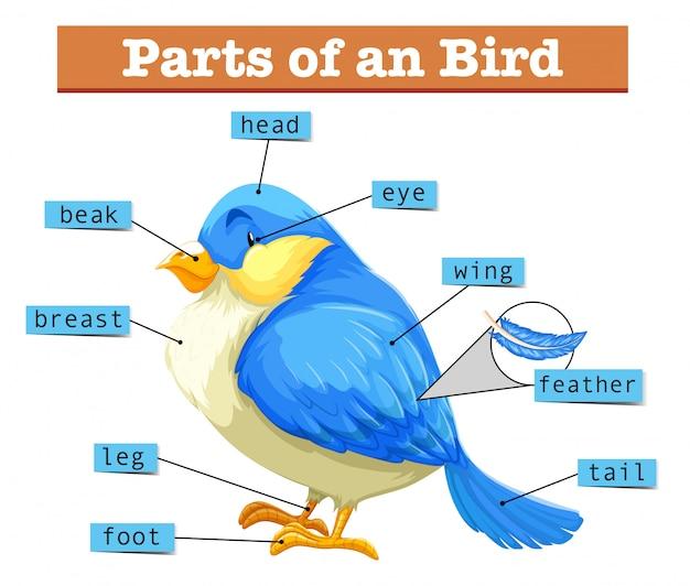 Różne części małego niebieskiego ptaka