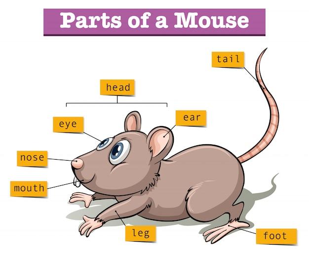 Różne części małej myszy