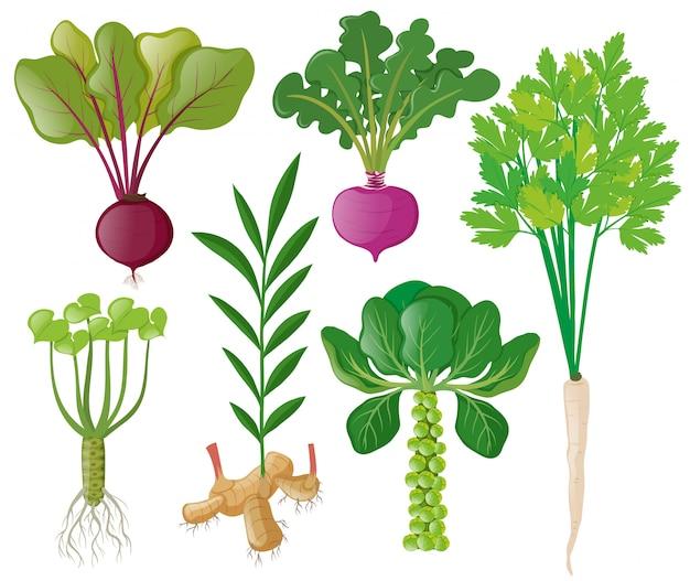 Różne rodzaje warzyw korzeniowych