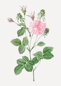 Różowa agatha wzrosła