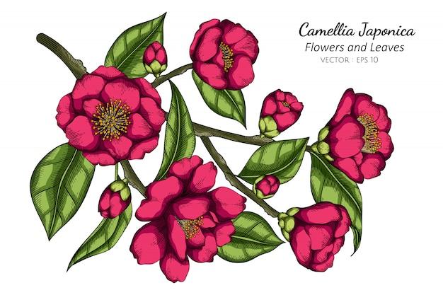 Różowa kameliowa japonica kwiatu i liścia rysunkowa ilustracja