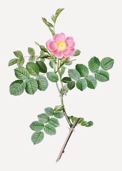 Różowa róża słodkiego wrzośca