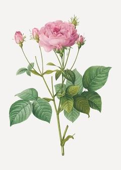 Różowe francuskie róże