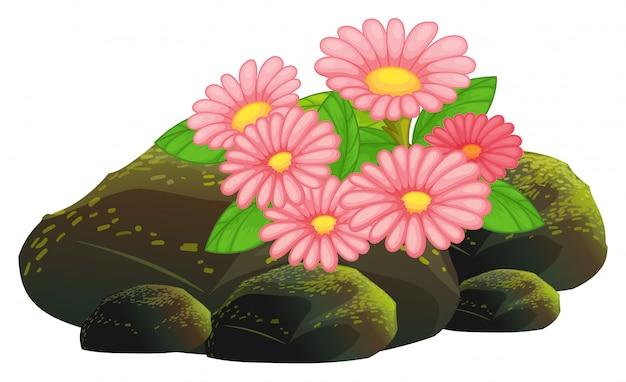 Różowe kwiaty i skały na białym tle