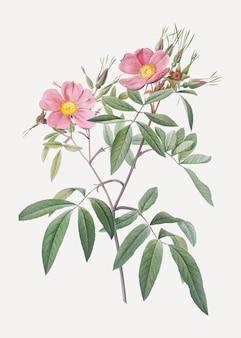 Różowe róże bagienne