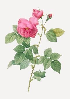 Różowe róże bourbon