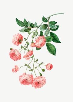 Różowe róże rambler