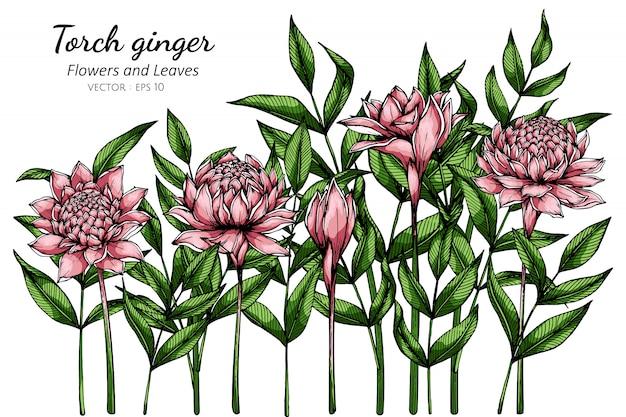 Różowej pochodni imbirowy kwiatu i liścia rysunkowa ilustracja z kreskową sztuką na bielu
