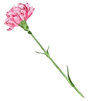 Różowy goździka kwiat odizolowywający