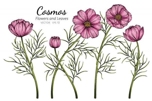 Różowy kosmos kwitnie i liść rysuje ilustrację z kreskową sztuką na białych tło.