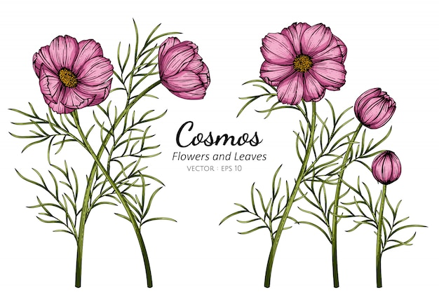 Różowy kosmos kwitnie i liść rysunkowa ilustracja