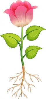 Różowy kwiat z zielonymi liśćmi i korzeniami na białym tle