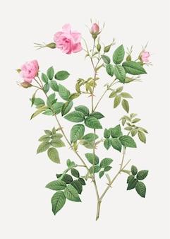 Różowy kwitnący krzew różany