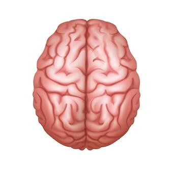 Różowy ludzki mózg widok z góry z bliska