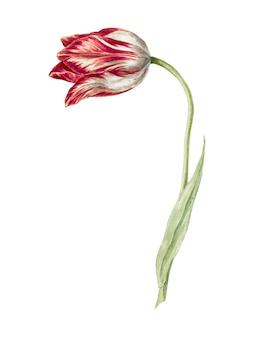 Różowy tulipan autorstwa jean bernarda