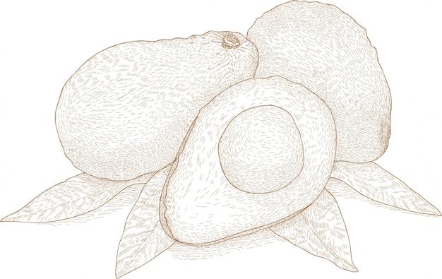 Rysunek ilustracja owoców awokado