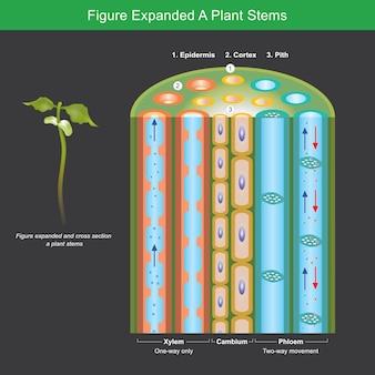 Rysunek rozszerzony pędy roślin. rysunek rozwinięty, aby wyjaśnić, jak rośliny transportują składniki odżywcze i wodę w łodygach. ilustracja.