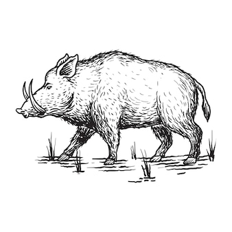 Rysunek świni dzika