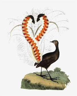 Rysunek zwierzę lyrebird