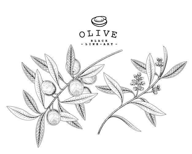 Rysunki gałązek oliwnych.