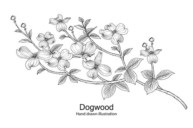 Rysunki kwiatów ddogwood.