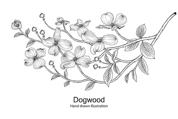Rysunki kwiatów derenia.
