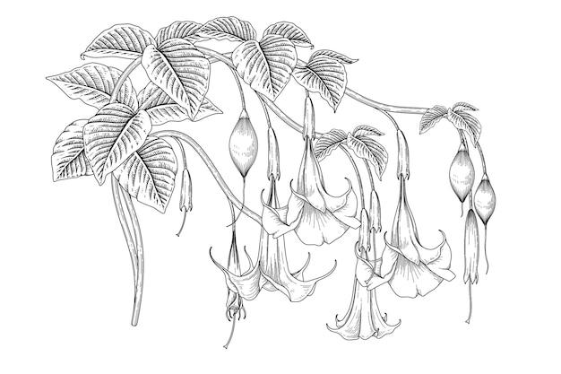 Rysunki kwiatu trąbki anielskiej (brugmansia).