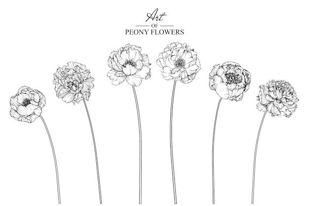 Rysunki liści i kwiatów piwonii. archiwalne ręcznie rysowane ilustracje botaniczne.