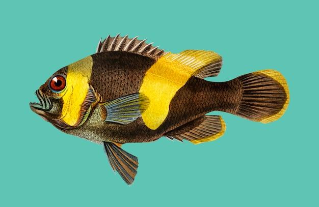 Saddleback clownfish (amphipiron bifasciatus) zilustrowany przez charlesa dessalines d'orbigny